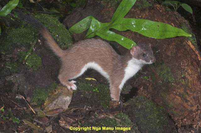 Why were stoats and ferrets introduced to New Zealand? (1/2)