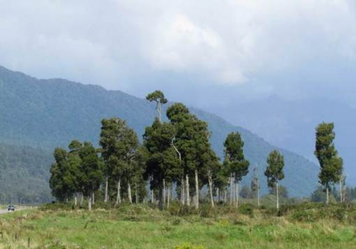 kahikatea grove on farmland