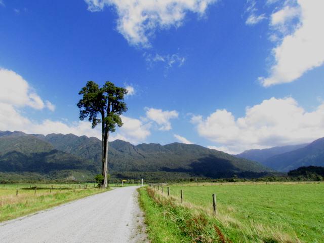 Solitary kahikatea near Hokitika Gorge