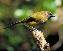 Male bellbird by Tim Lovegrove