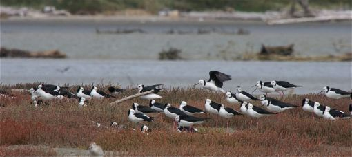 Pied stilts at Manawatu Estuary. Photo by Steve Attwood https://www.flickr.com/photos/stevex2/ , not to be reproduced without prior permission.