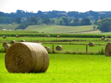Hay bales (rolls?) if fields just south of Shannon, Horowhenua. Photo: C. Knight