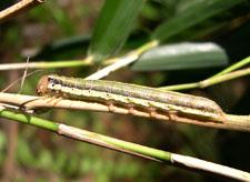 Cosmopolitan Armyworm