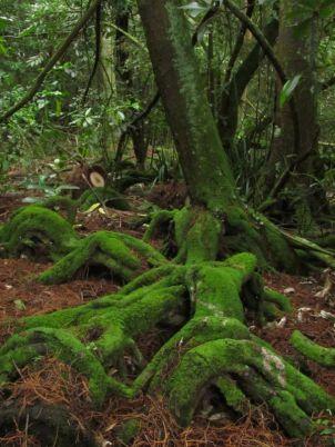 Kahikatea roots 2