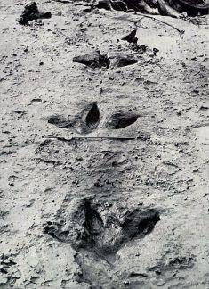 moa-footprints-1912