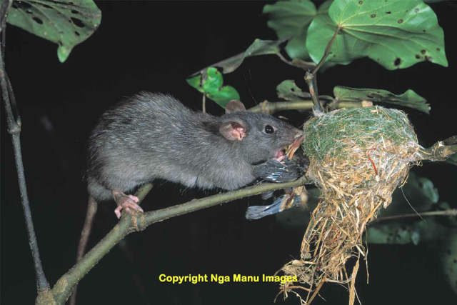 A black rat eating a fantail chick, Horowhenua.