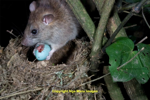 rat eating egg