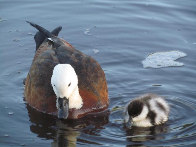 Female Paradise shelduck and duckling