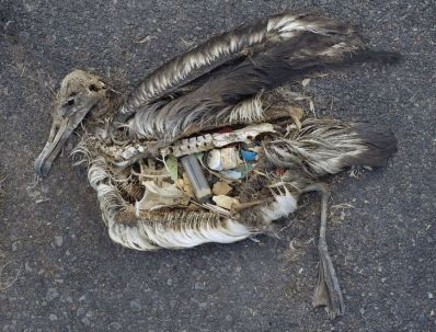 The stomach contents of this albatross include plastic marine debris fed to the chick by its parents. Photograph by Chris Jordan, U.S. Fish and Wildlife Service. This file is licensed under the Creative Commons Attribution 2.0 Generic license.