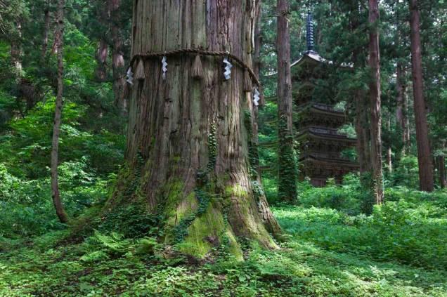 sacred cedar tree Dewa Sanzan.jpg